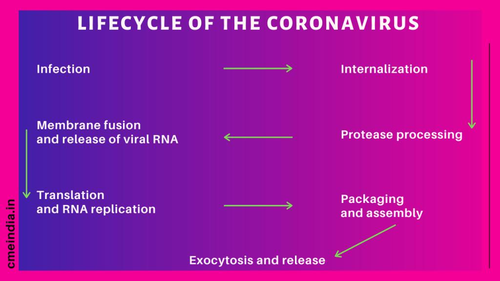 Lifecycle of Coronavirus
