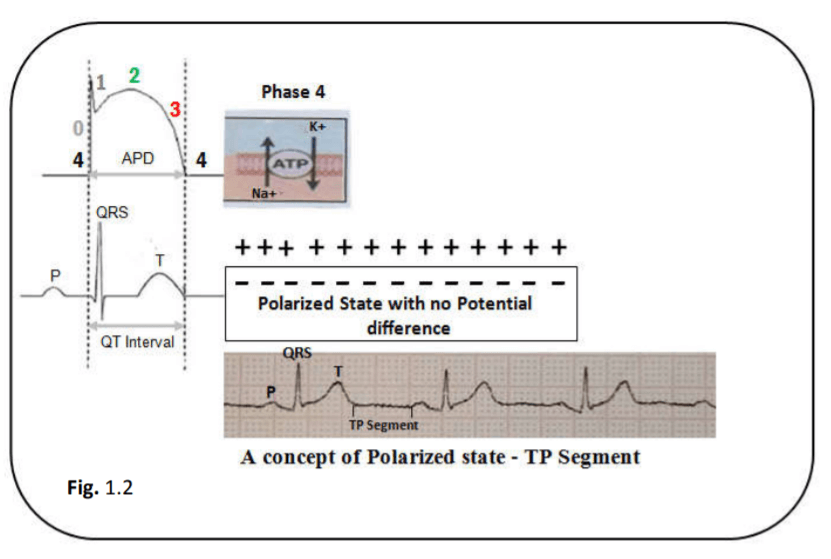 A concept of normal polarized state - TP segment